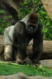 ход гориллы Стоковая Фотография
