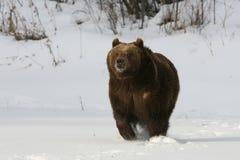 ход гризли медведя Стоковая Фотография RF