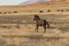 Ход жеребца дикой лошади Стоковое Изображение