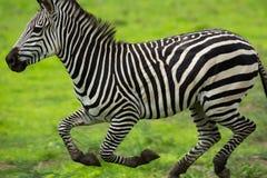 Ход зебры Стоковое фото RF