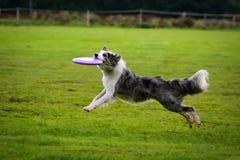 Ход Коллиы границы и заразительный frisbee в скачке Стоковое Изображение RF