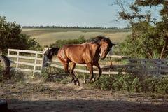 Ход лошади в paddock на песке летом стоковое фото rf