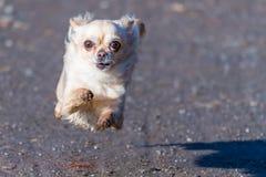 Ход малой милой собаки чихуахуа быстрый сразу к камере Стоковые Изображения
