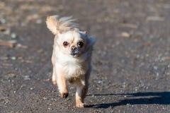 Ход малой милой собаки чихуахуа быстрый сразу к камере Стоковая Фотография