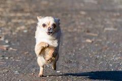 Ход малой милой собаки чихуахуа быстрый сразу к камере Стоковое Фото