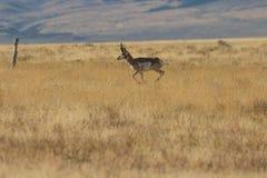 Ход самца оленя антилопы Pronghorn Стоковые Фото