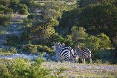 Ход семьи зебры Стоковая Фотография RF