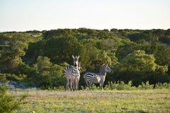 Ход семьи зебры Стоковое Фото