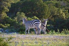 Ход семьи зебры Стоковые Фотографии RF