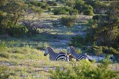 Ход семьи зебры Стоковые Изображения RF