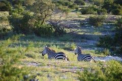 Ход семьи зебры Стоковое фото RF