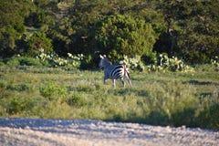 Ход семьи зебры Стоковое Изображение