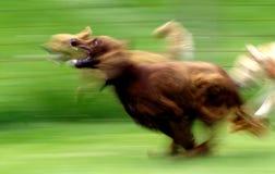 ход собаки Стоковое Изображение RF