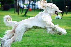 ход собаки Стоковые Фото