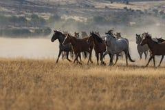 Ход табуна дикой лошади Стоковые Фотографии RF