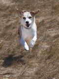 ход травы beagle Стоковая Фотография