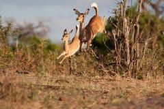 ход impala Стоковые Изображения RF