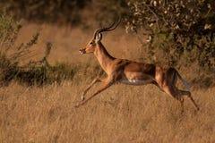 ход impala Стоковые Фотографии RF