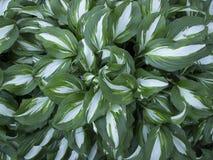 Хозяев кустов с striped зелен-белыми листьями Стоковое Изображение RF