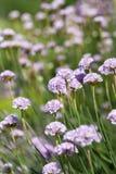 Хозяйственность моря & x28; Maritima& x29 Armeria; , цветки зацветая в луге стоковое фото rf
