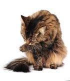 холить кота Стоковые Фото