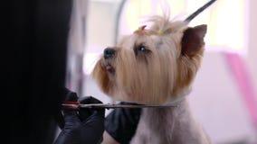 холить Собака получает отрезок волос на крупном плане салона спа любимца видеоматериал