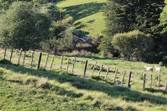 Холмы, луга, и куст на овце Новой Зеландии обрабатывают землю стоковая фотография rf