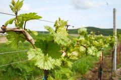 холмы предпосылки приземляются виноградник стоковое фото