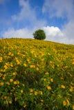 Холмы схвата SunflowerBua мексиканца Doi Mae U-Kho в районе Khun Yuam, Mae Hong Son, северном Таиланде Зацветать в ноябре и d Стоковая Фотография RF