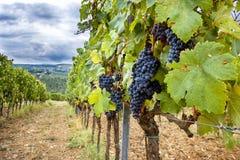 Холмы Chianti с виноградниками Тосканский ландшафт между Сиеной и Флоренсом Италия Стоковые Изображения