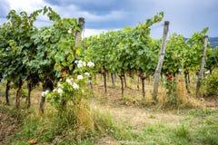 Холмы Chianti с виноградниками Тосканский ландшафт между Сиеной и Флоренсом Италия Стоковые Изображения RF