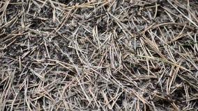 Холм муравья леса игл сосны акции видеоматериалы