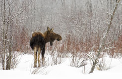 холодная зима лосей стоковое фото