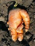 Холодная морковь Стоковая Фотография RF