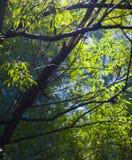 холодные treetops sunbeam пущи стоковое изображение