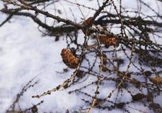 холод леса природы зимы снега конусов ветви стоковое изображение rf