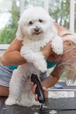 Холят милую белую собаку стоя на его задних ногах стоковое фото rf