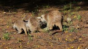 Холя семья meerkat сток-видео