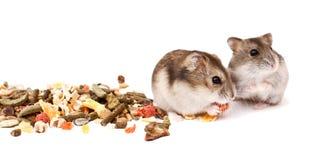 Хомяки на белой предпосылке, хомяки едят сухую еду Стоковые Изображения RF