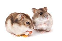 Хомяки на белой предпосылке, хомяки едят сухую еду Стоковые Изображения