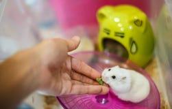 Хомяк белого карлика зимы подача вручную предпринимателя милый с кормом для домашних животных Стоковая Фотография RF