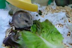 Хомяк белизны зимы младенца Стоковое фото RF