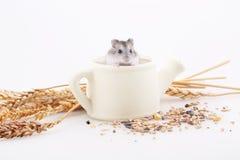 Хомяк сидит в белом чайнике в окружающей среде ушей дальше Стоковые Фотографии RF