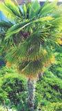 Хорватская пальма Стоковое Изображение RF