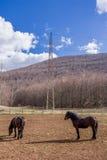 Хорватская порода лошади, хладнокровная Стоковые Изображения