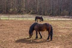 Хорватская порода лошади, хладнокровная Стоковые Фотографии RF