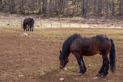 Хорватская порода лошади, хладнокровная Стоковое Изображение RF