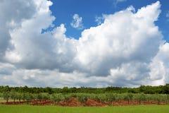 Хорватский солнечный ландшафт лета с оливковыми деревами Стоковое Фото