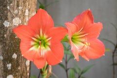 Хоронить johnsonii Hippeastrum или красная лилия звезды - близкое поднимающее вверх Стоковые Фотографии RF