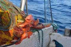 Хорошая задвижка рыб в сети Стоковые Фотографии RF